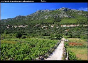 Straße durch Olivenhaine und Weinstöcke zur Sotnica