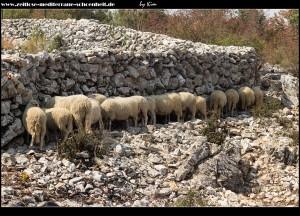 In Štedrica - Schafsherde sucht Schutz vor der glühenden Sonne