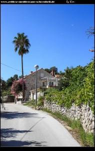 Wunderschöne Washingtonia Robusta - eins der vielen Wahrzeichen Süddalmatiens