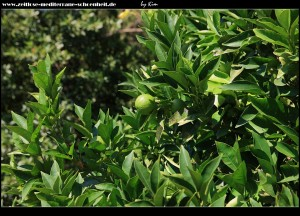 ein weiteres Wahrzeichen Süddalmatiens - Mandarinen-...