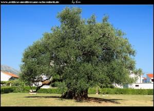ein Stück die Straße hoch in Richtung Magistrale, trifft man den 1.500 Jahre alten Olivenbaum - heute Naturdenkmal